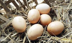 เลี้ยงไก่ไข่อินทรีย์ ออเดอร์ล้น กำไรหลักหมื่นต่อเดือน