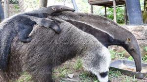 สวนสัตว์เปิดเขาเขียว ชลบุรี ปลื้ม ได้สมาชิกใหม่ลูกตัวกินมดยักษ์