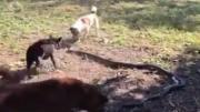 ฝูงหมาโหด ปะทะ นักล่างูจงอาง !!!