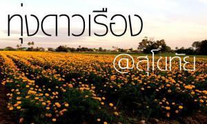 """ทุ่งดอกดาวเรือง สว่างงามเหลืองทั่ว """"สุโขทัย"""""""