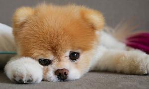 Boo Pet Idol ที่น่ารักที่สุดในโลก
