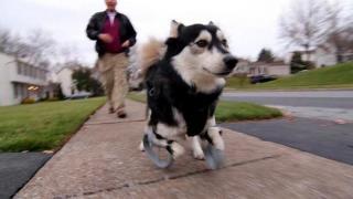 ชีวิตใหม่ของมะหมาสุดอาภัพ..กับขาแบบ 3 มิติ