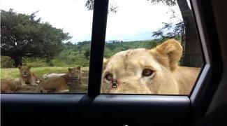 ช๊อกดิ!!! สิงโตในสวนสัตว์ เปิดประตูรถได้เฉยเลย
