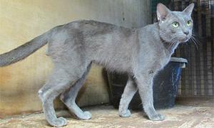 เพาะเลี้ยงแมวไทยโบราณขาย โกยรายได้เป็นล้าน